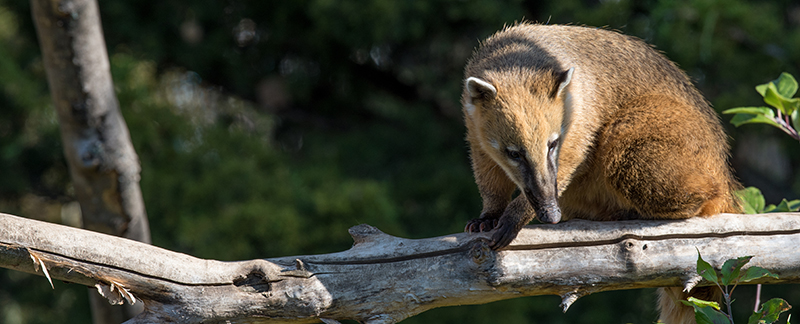 Building a new coati enclosure